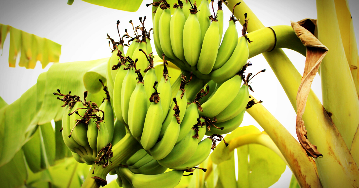Why You Can't Just Peel And Eat The World's Most Popular Banana