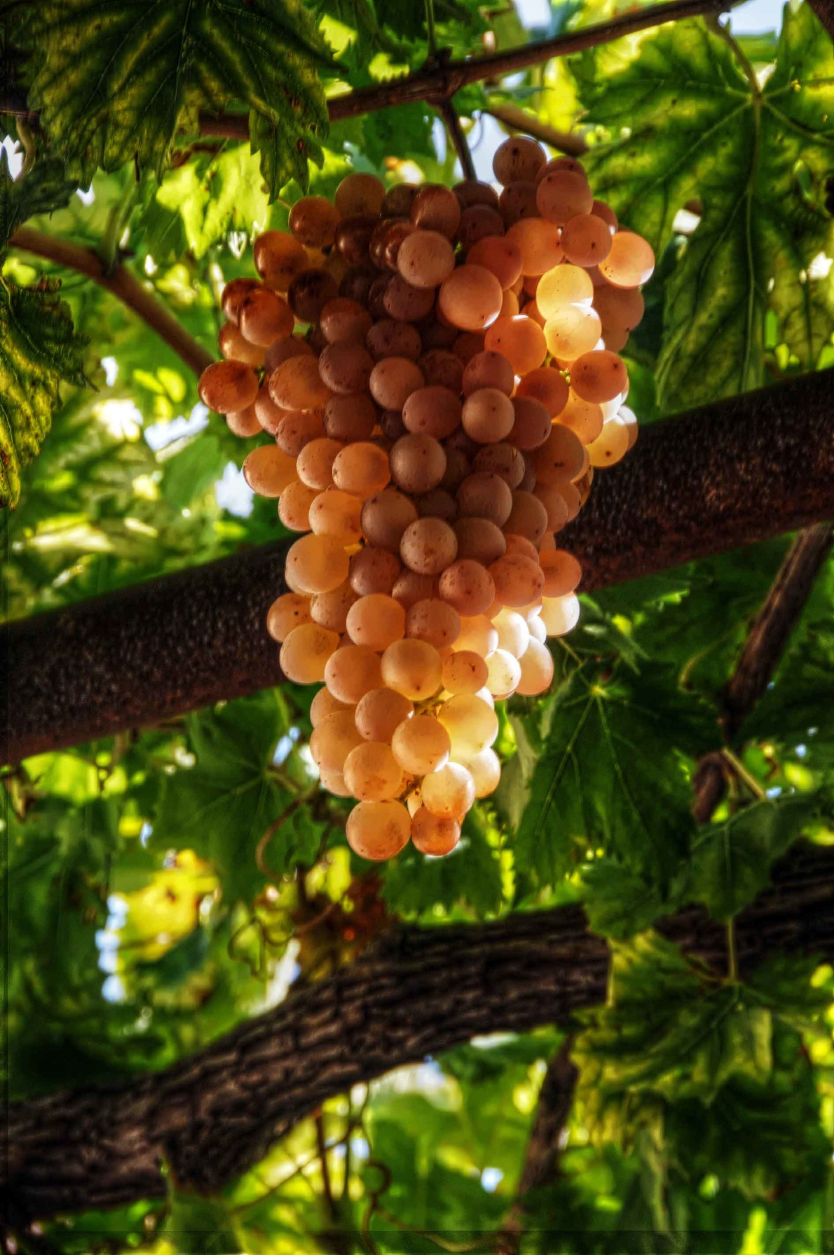 Canva---Grapes-of-Crete