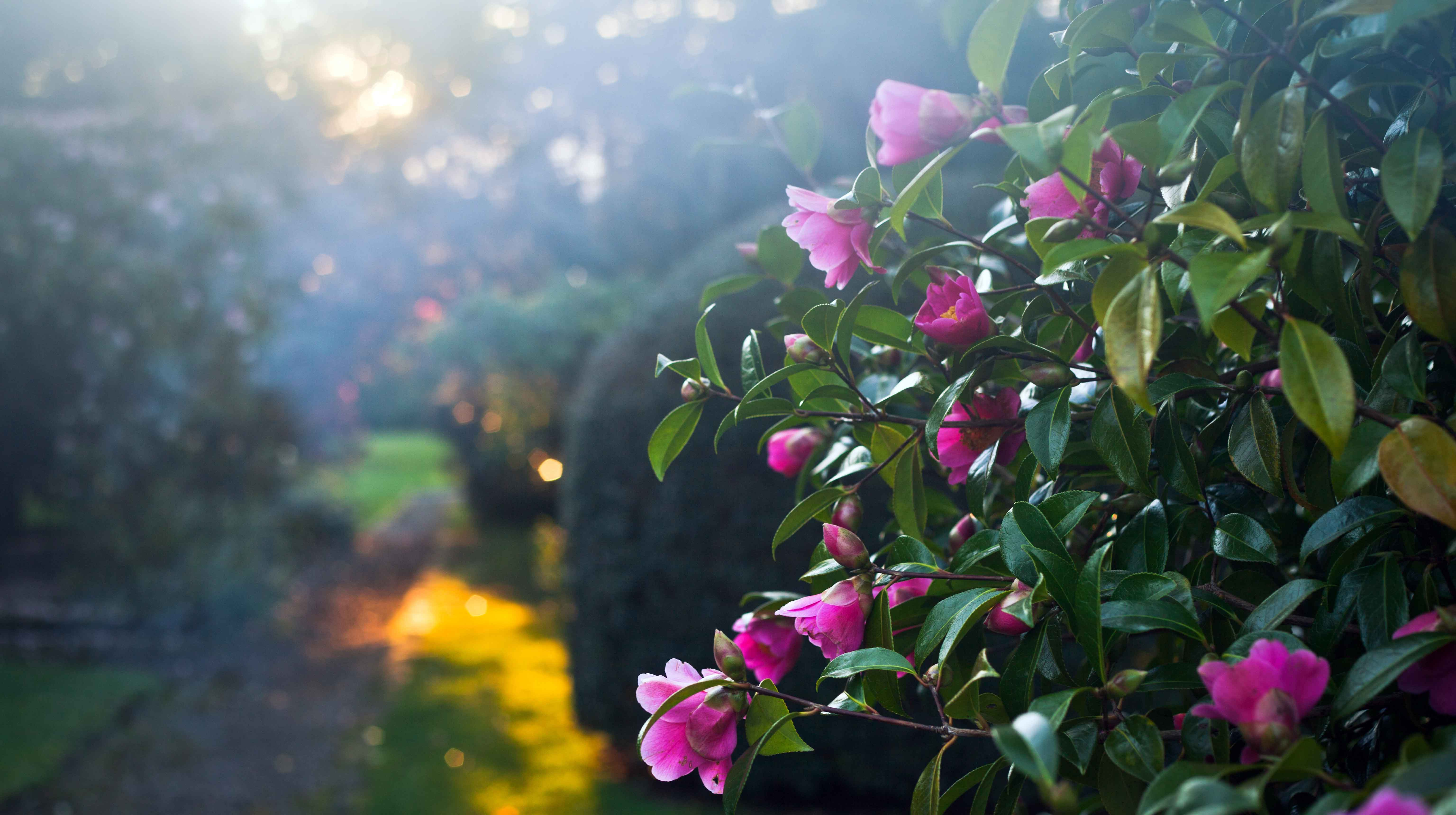 Canva---Pink-Blooming-big-Camellia-bush-with-delicate-rose-flowers