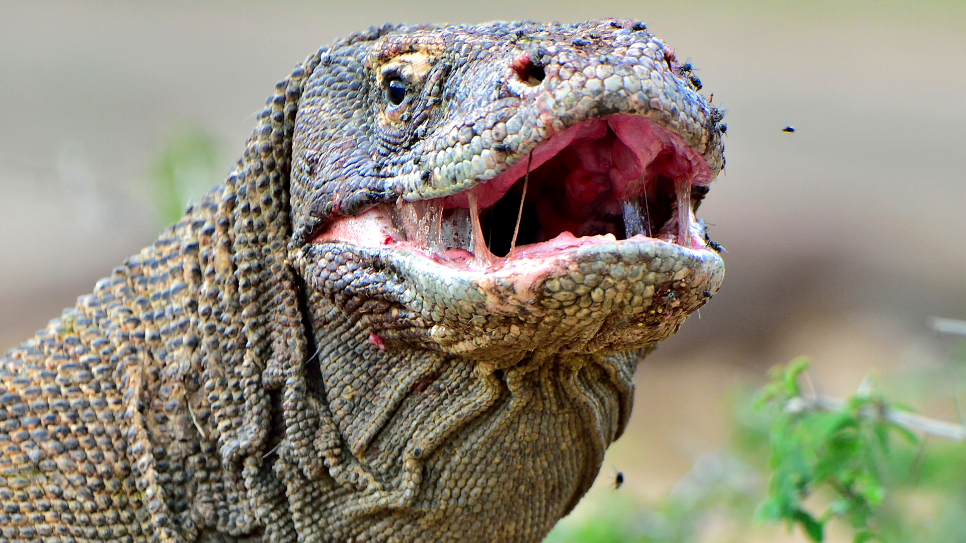 Yes, Komodo Dragons Really Are That Big – And That Tough
