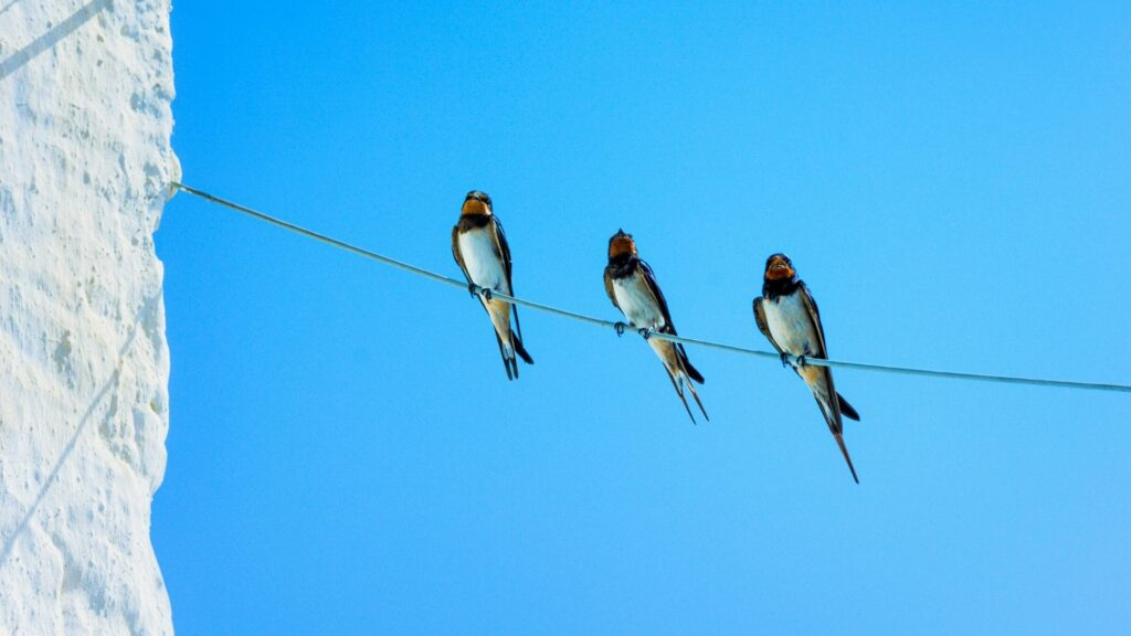 Swallows on a line in Malaga, Spain