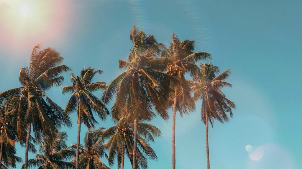 Coconut palms in the sun