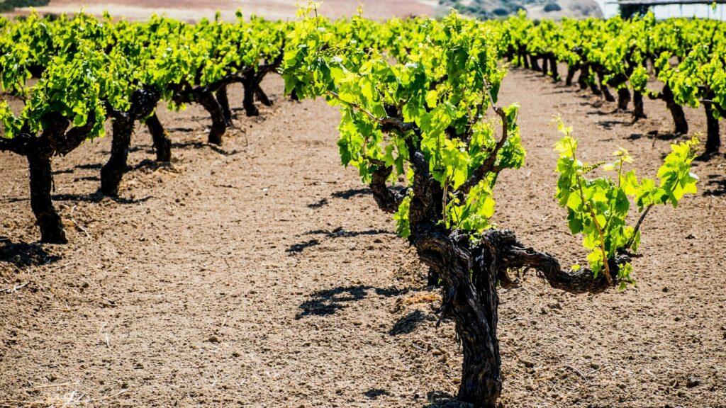 Vines growing in a Cyprus vineyard