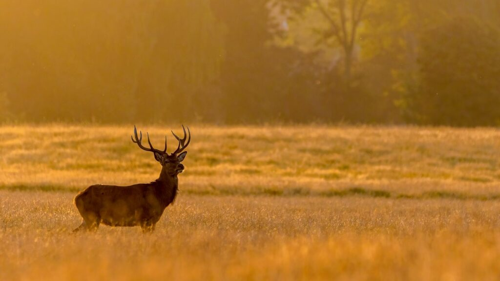 A red deer in Dyrehaven Forest
