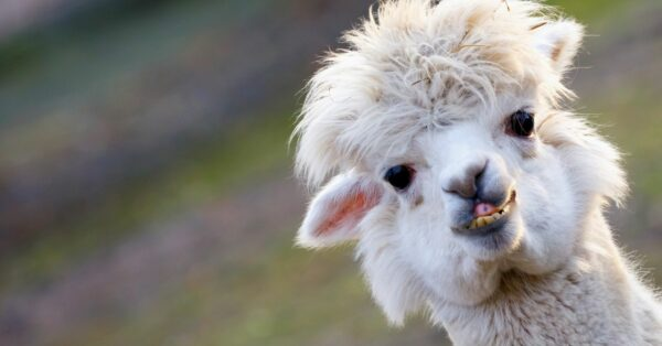 Llama Or Alpaca? Here's How To Tell (And Why It Matters)