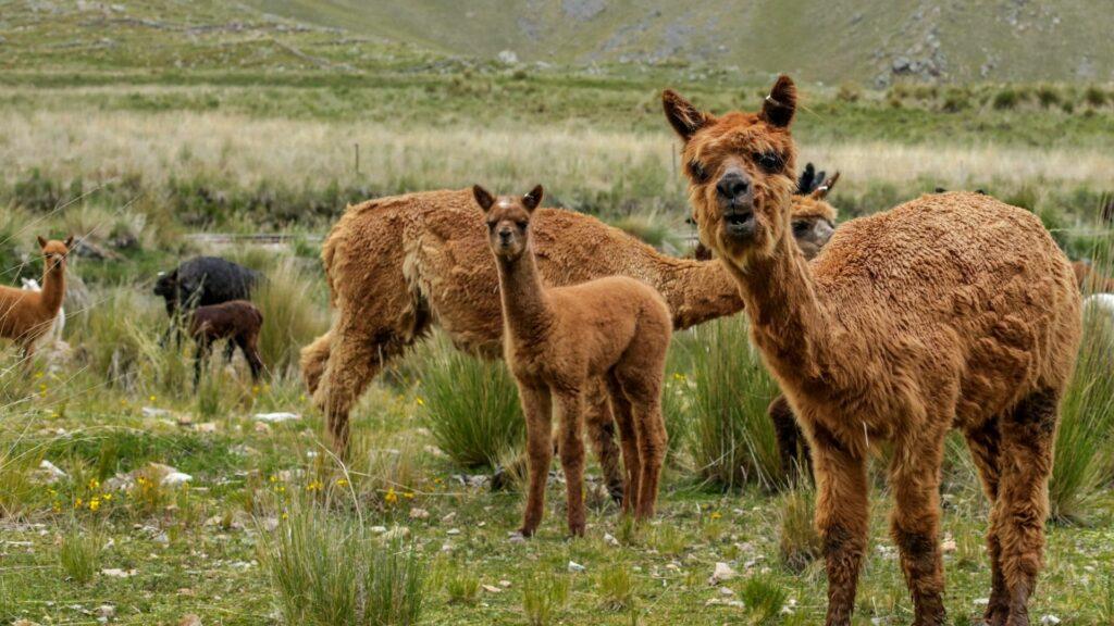 Llamas - friendlier than they look!